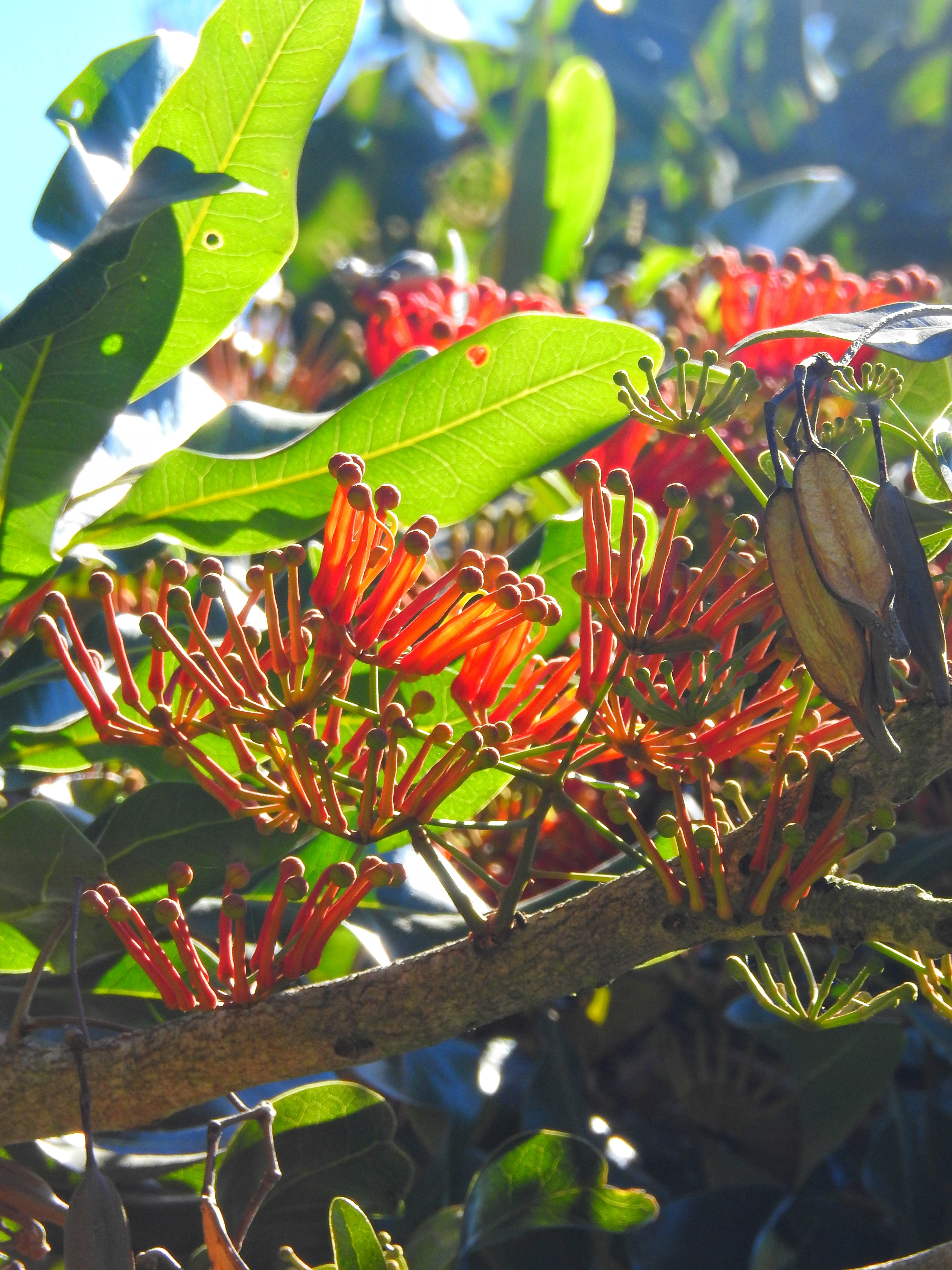 Stenocarpus Sinuatus - Firewheel Tree :: nasionatropikalne.pl