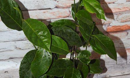 Małe stadko Jackfruit-ów
