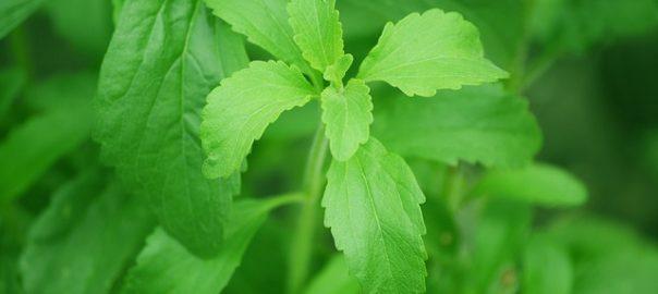 Wysiewamy stewie – Stevia rebaudiana