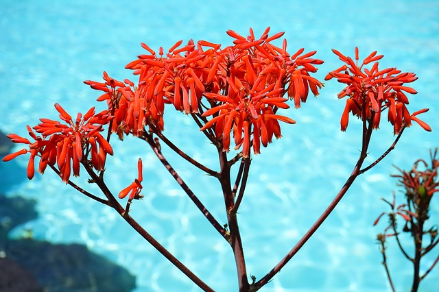 Aloe striata - Coralowy aloes