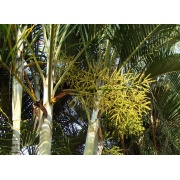 Dypsis decaryi - Triangle palm