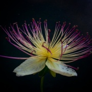 Kapar ciernisty - Capparis spinosa