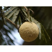 Parkia timoriana - Badminton ball tree