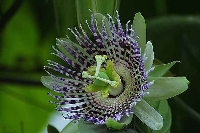 Passiflora ligularis